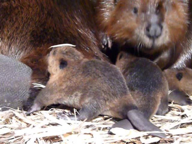 Naissance de castors au zoo : une histoire de passion
