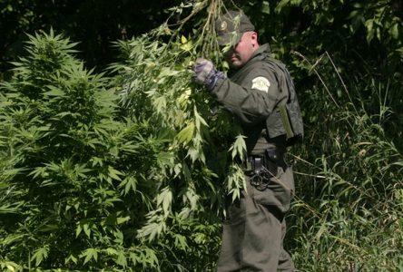 Saisie de 3500 plants de marijuana à La Doré