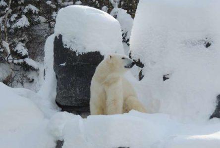 Le Zoo de Saint-Félicien revet son décor hivernal