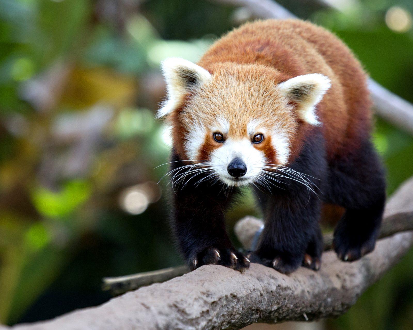 La femelle petit panda Malina est décédée
