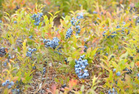 Récolte de bleuet : une saison qui s'annonce prometteuse