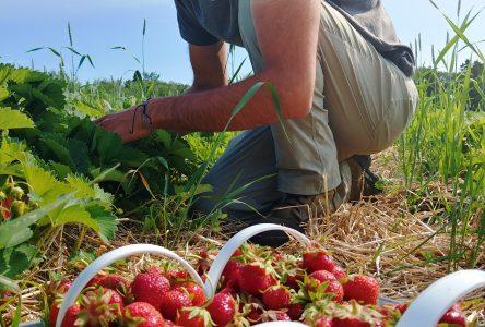 Saison de fraise exceptionnelle: Le Maraicher du 1er rang s'en tire bien